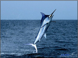 Bill fish