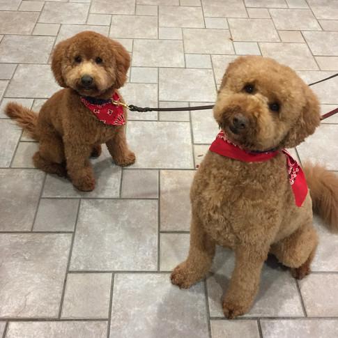 Benji & Bo after grooming