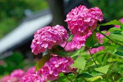 6月 藤森神社の紫陽花