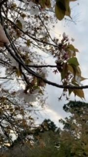 「桜の名所 醍醐寺」