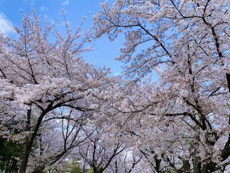 桜の名所 「平野神社」