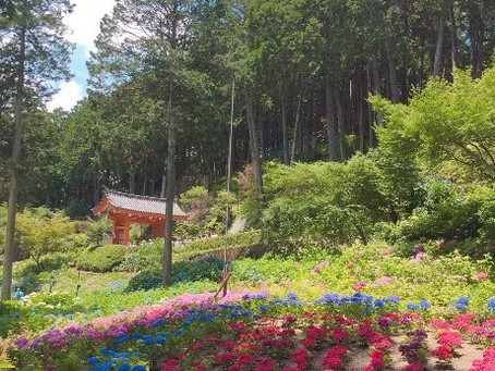 紫陽花の名所「三室戸寺」