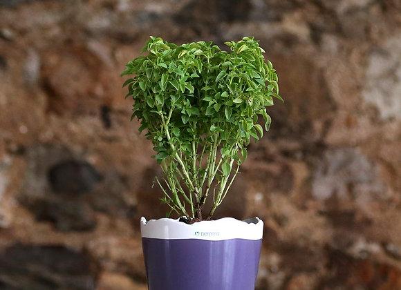 Basil in Deroma Quadro January Viola Pot