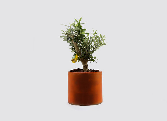D&M Orchidpot with Olive Tree