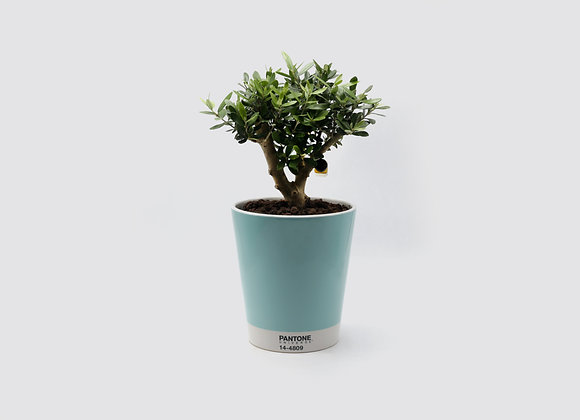 Serax Pantone Pot with Bonsai Olive Tree