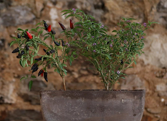 Pepper Plants in Deroma Casseta Oll Pot with Saucer