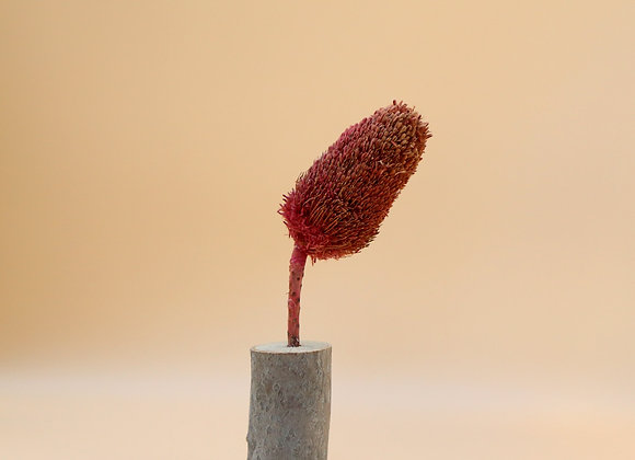 Dried Banksia in Wooden Stand