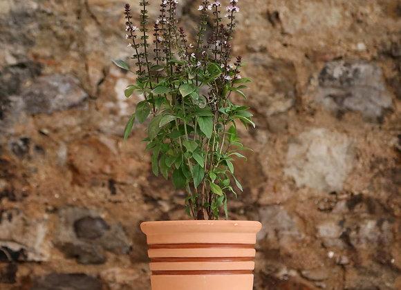 Local Basil Plant in Deroma Vaso Alto Toledo Pot