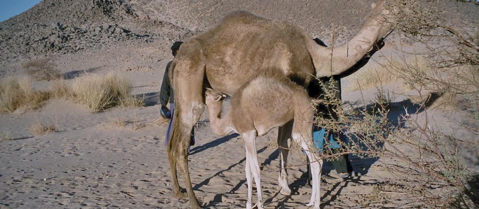 Kamelmilchverreibung