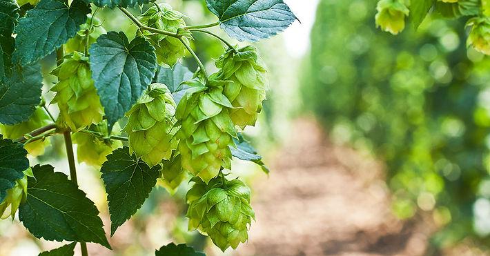 hops on the vine.jpg