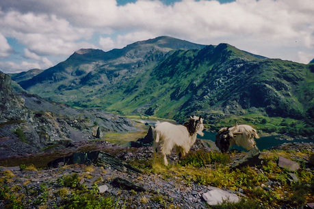 Goats standing infront of Mount Snowdon in Wales