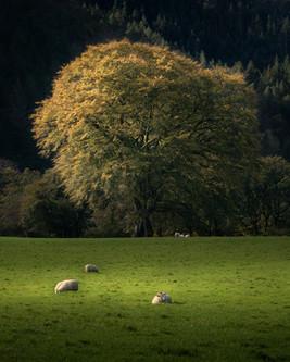 Hafod-Estate-Golden-Oak-Tree.jpg