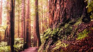 Rotorua Redwoods