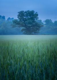 Berriew-Tree-Wheat-Field-Blue-Hour.jpg