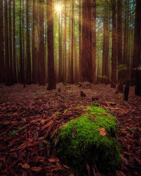 Whakarewarewa-Redwood-Forest-lightrays.j