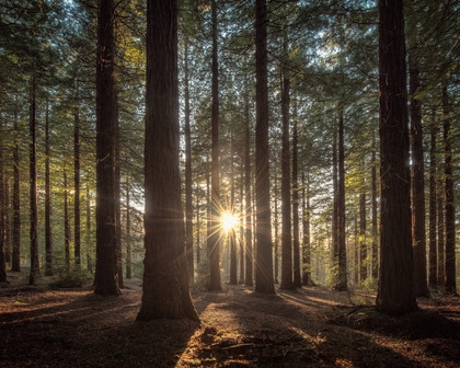 Leighton-Redwoods-Forest-Sunstar.jpg