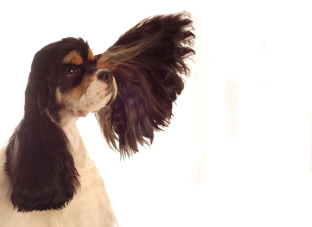 Bain chien moyen ( poils longs)