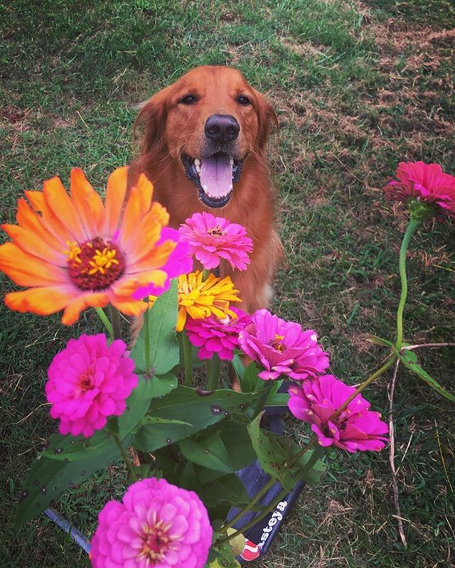 Happy Wednesday from Tucker! #zinnias #keepgrowing