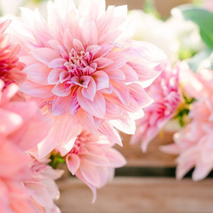 In the News- Cut flowers group taking strong roots