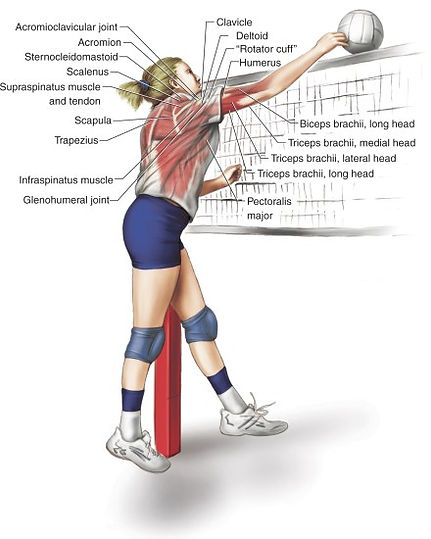 volleyball muscles.jpg