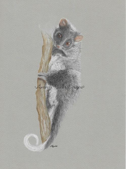 """Otto"" Ringtail Possum Print"