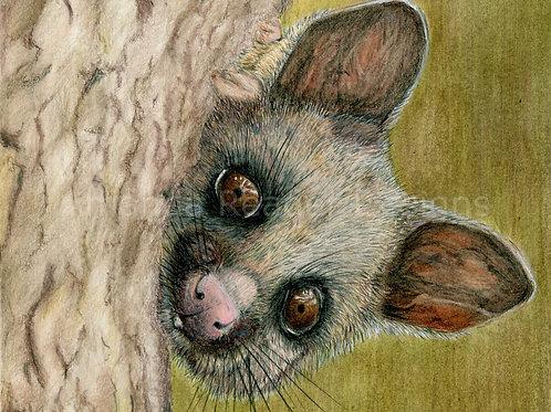 Brushtail Possum Original