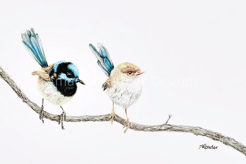 Splendid Fairy-wrens Original
