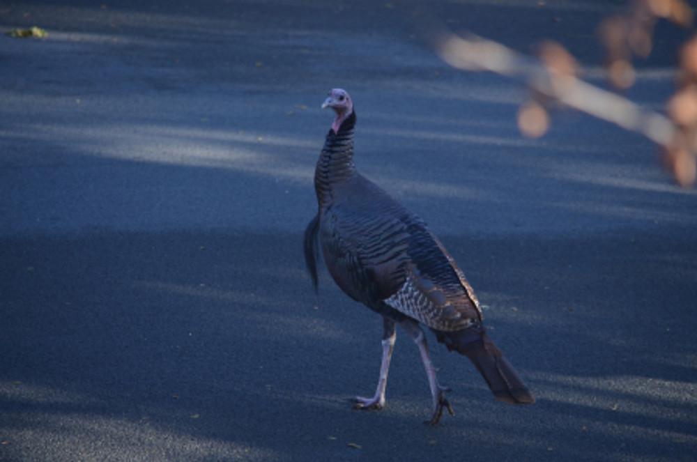 wild turkey 6