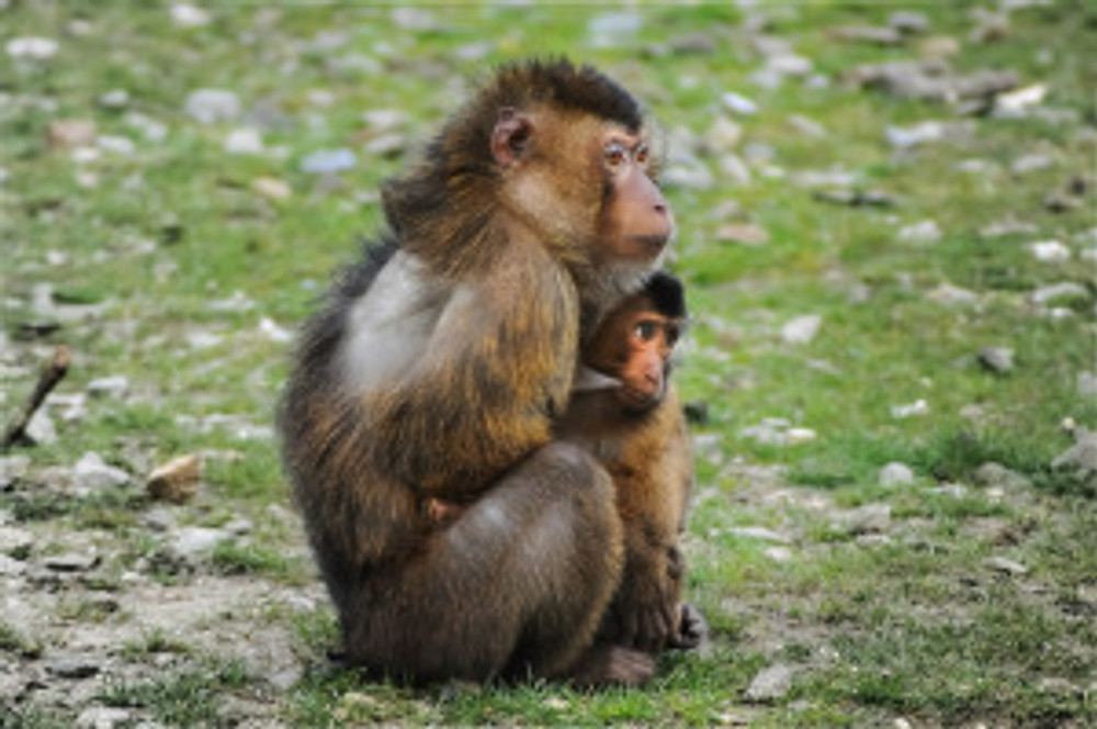barbary-ape-384632_1280
