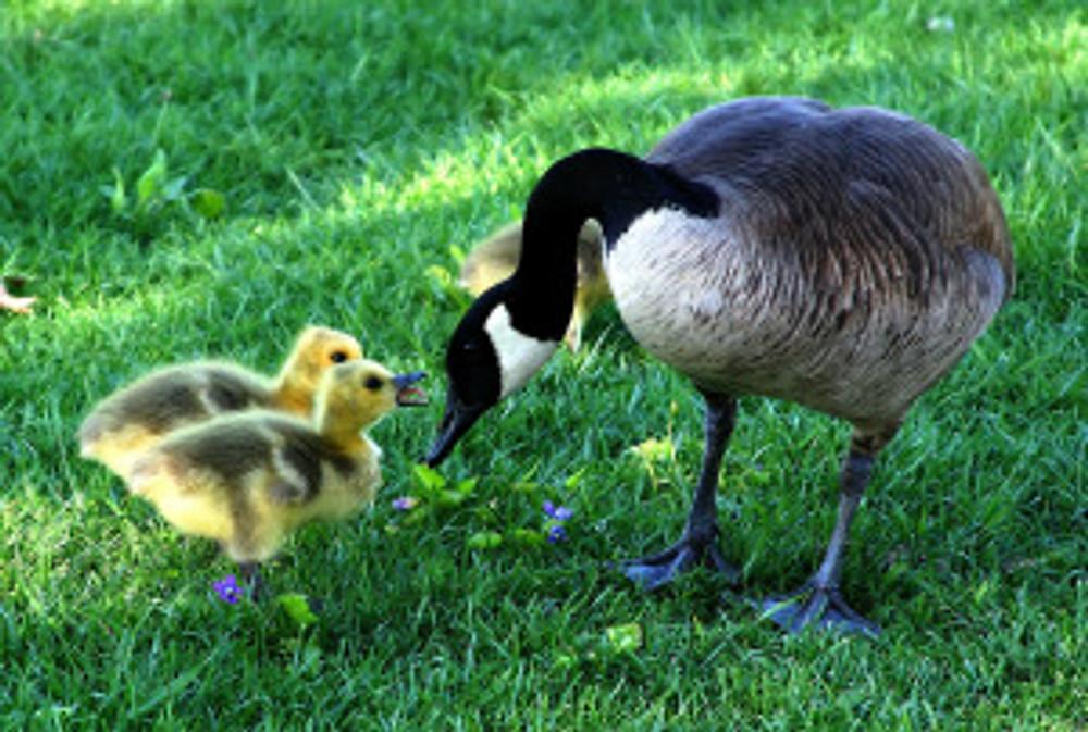 canada-goose-216003_1280