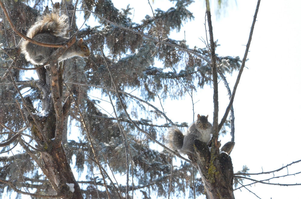 Gray squirrels in February