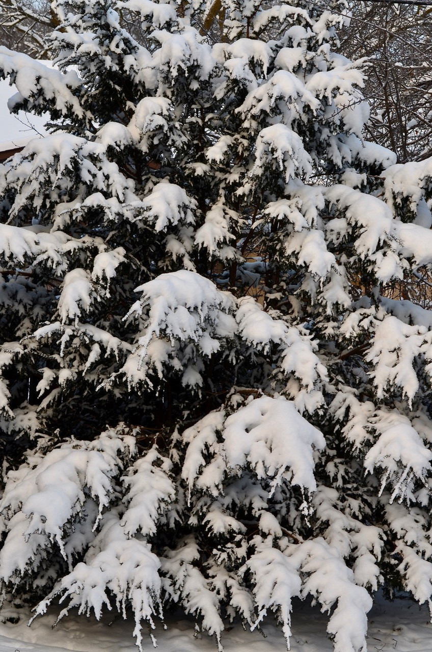 snow filled evergreen