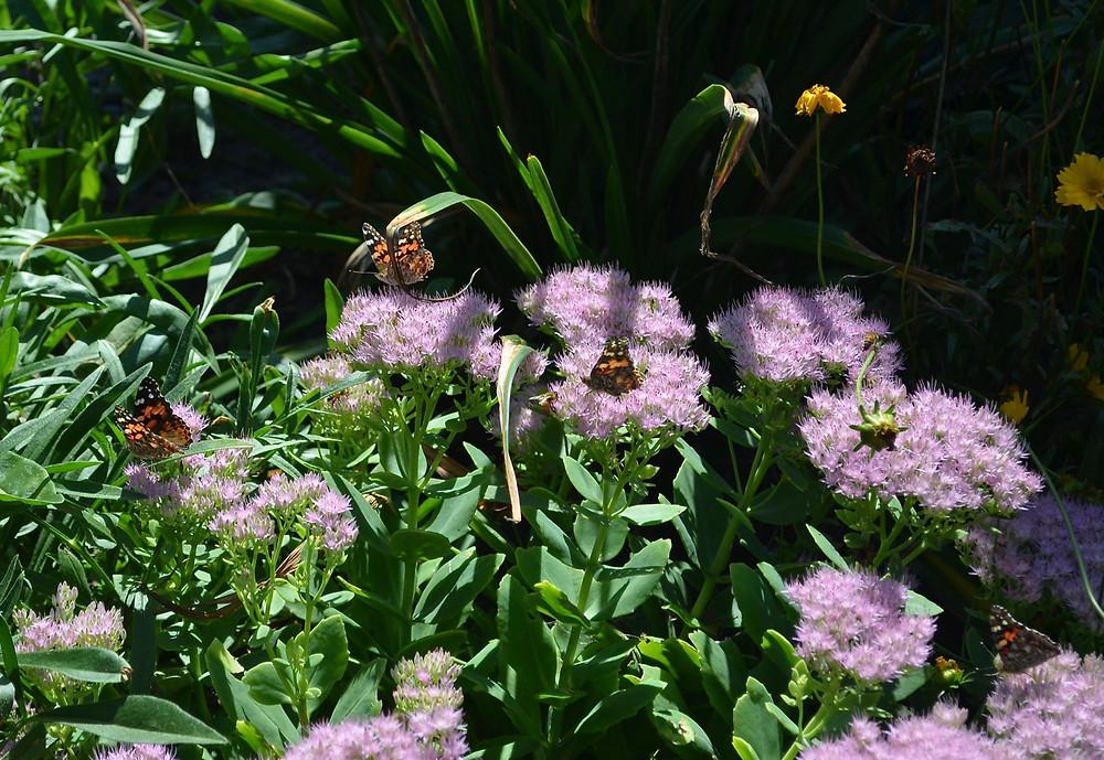 Sedum and butterflies