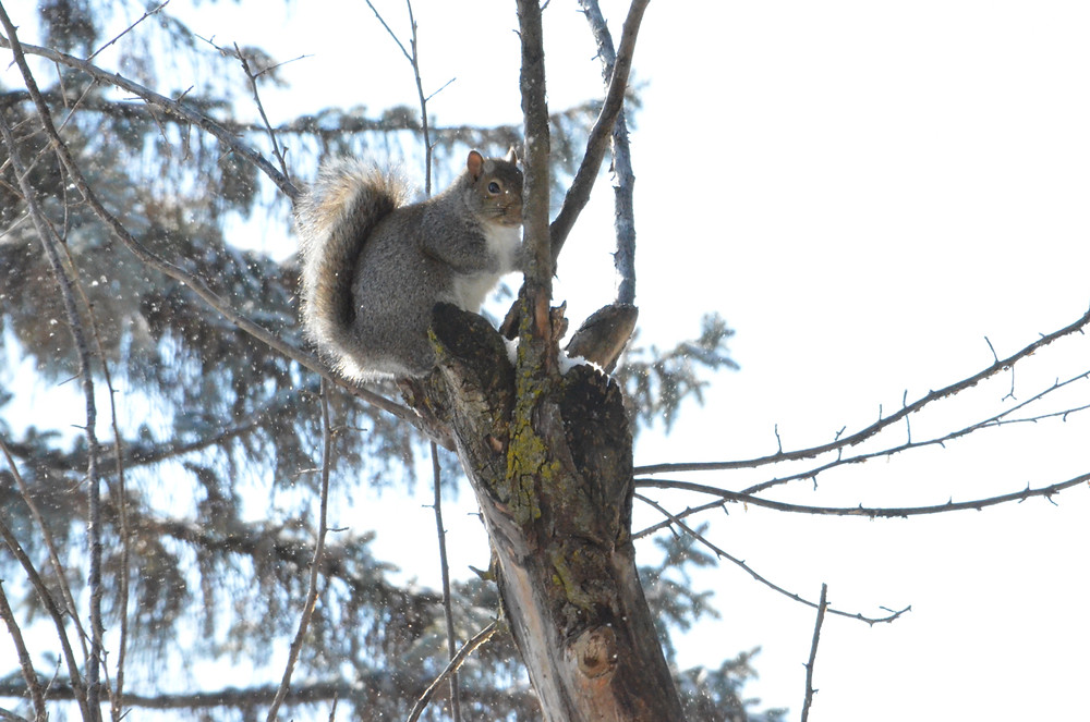 Gray Squirrel being coy