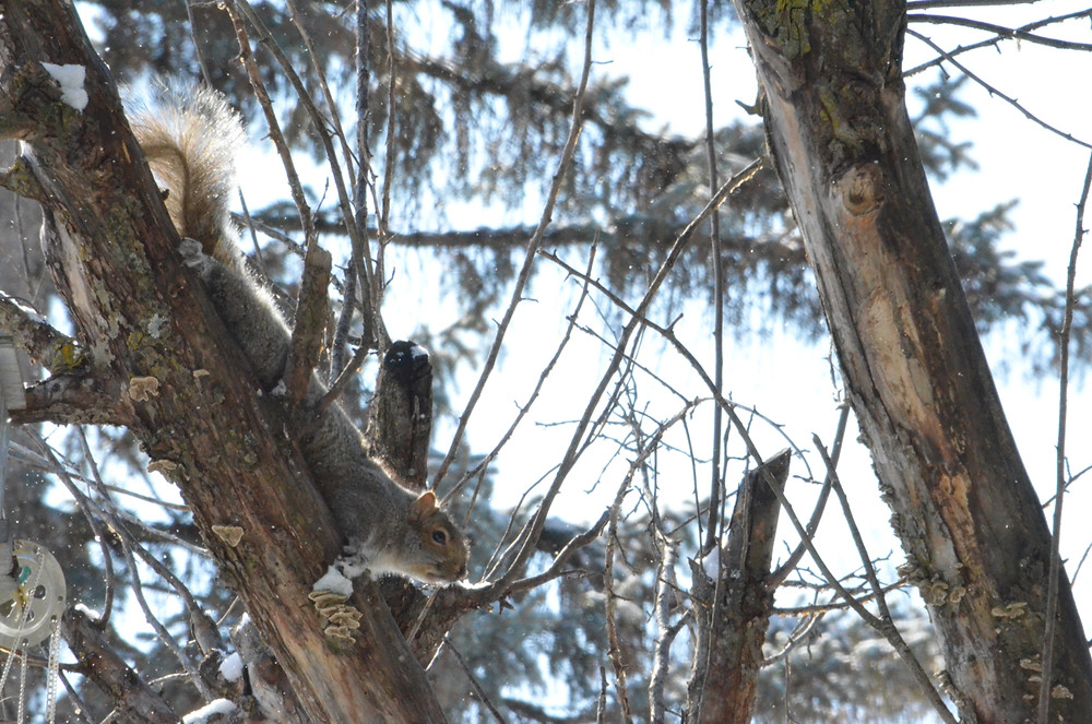 Gray squirrel stretched out