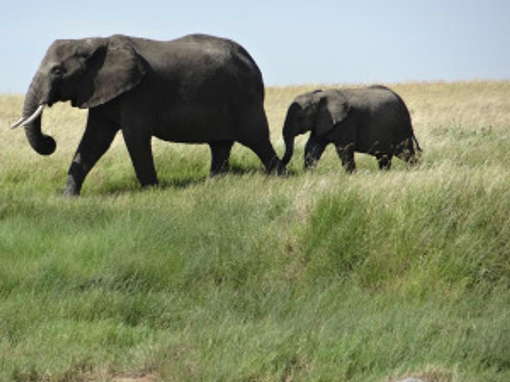 elephants-341981_1280