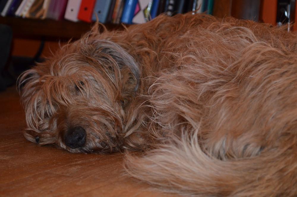 Ruby the Irish terrier