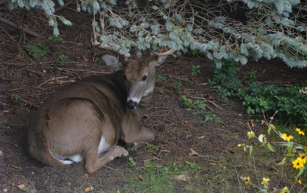 backyard deer visitor