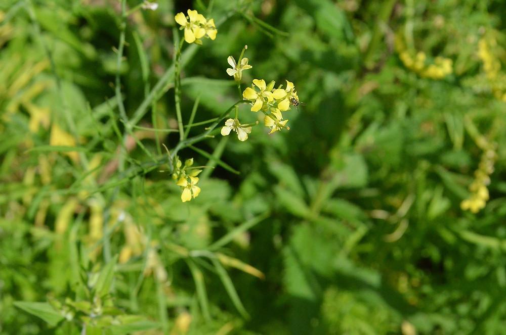 Tiny bee, yellow flower