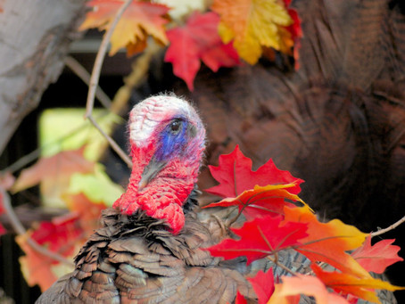 FIRST FIVE FRAGMENTS FOR FRIDAY – revisiting gratitude, talking turkey
