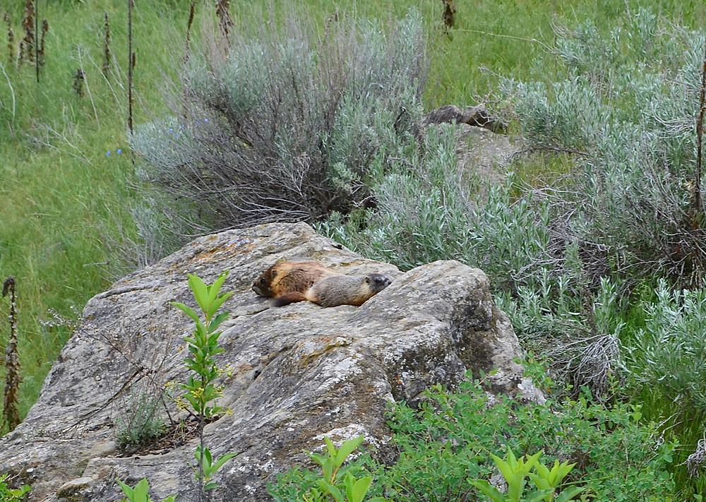 marmots near Pompeys Pillar National Monument