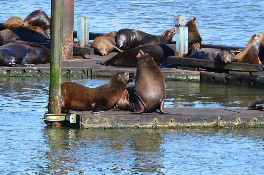 Astoria, OR, sea lions
