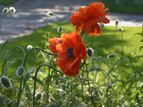 Week of Blooming Poppies and Remembering
