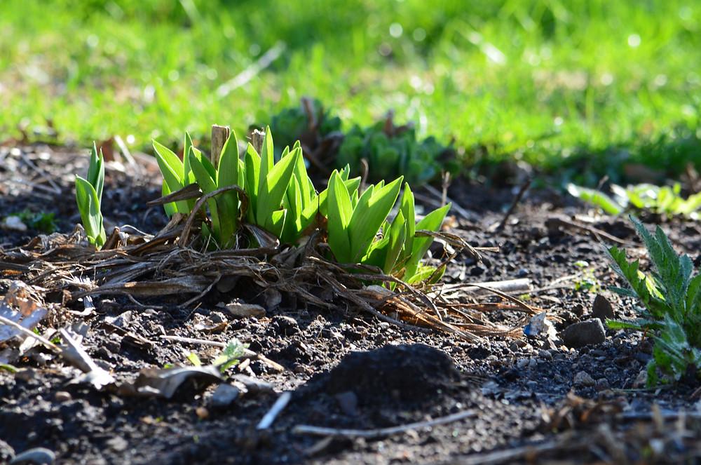 emerging lilies