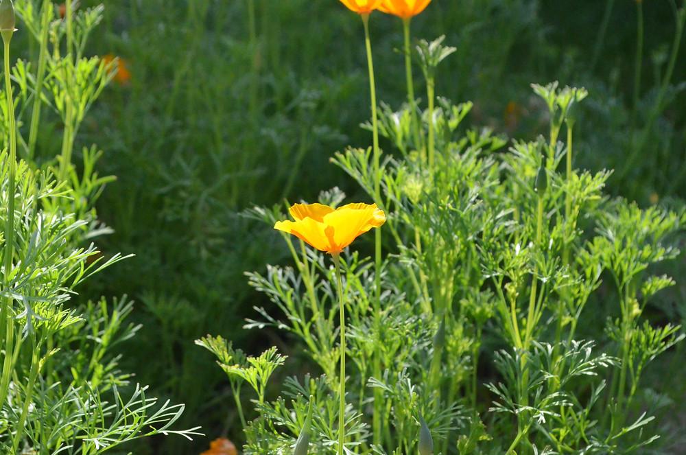 sunlight through poppies #3 FAV