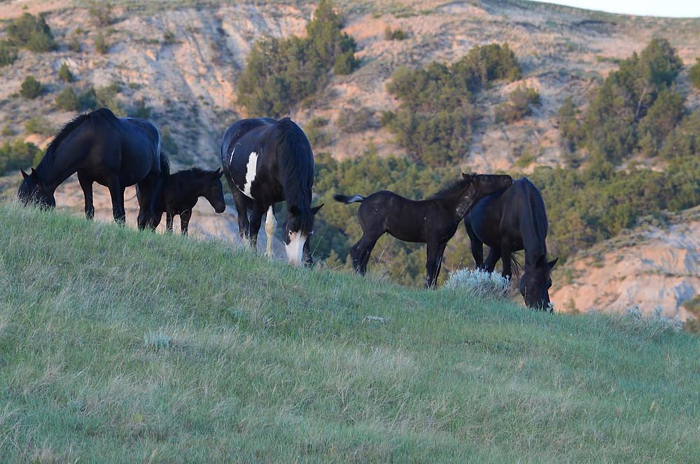 Feral Horses at Dusk