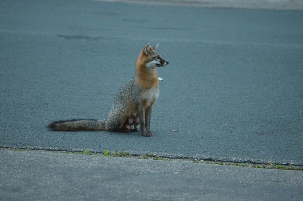 Mama Fox 2