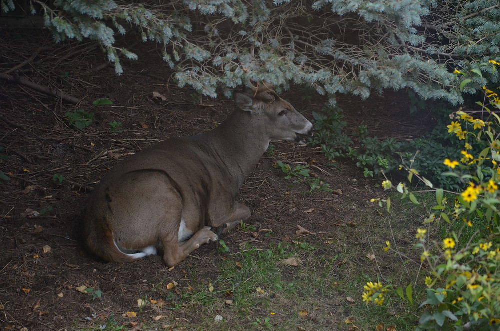 buck bedding down