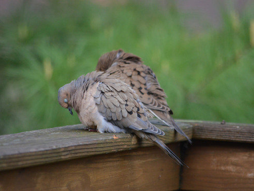 Mourning Dove Songs