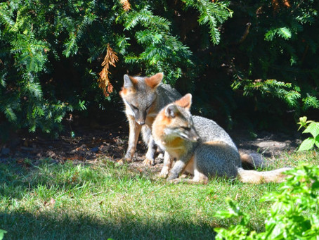 EAT, WRITE, DIGEST: Urban Wildlife, Suburban Coexistence